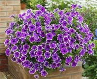Hort Couture Adds 6 Petunias