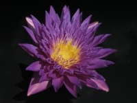 Top Waterlily Varieties Revealed