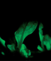 Glowing Plants: The Next Big Opportunity?