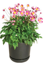 Pretty Lady Anemone from Green Leaf Is A Perennial Winner