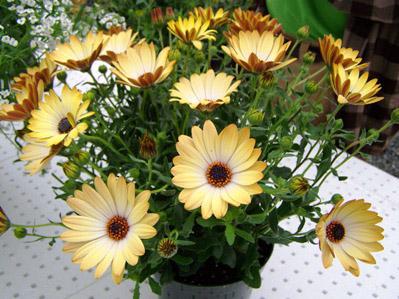 Beekenkamp Plants B.V. to Take Over Marketing Sunny Osteospermum