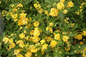 Lantana Propagation Tips Greenhouse Grower