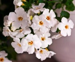 Bacopa 'Supercopa White Wedding' from Westhoff