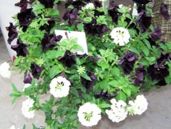 Allan's Top Picks At Ball Horticultural Co.