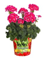 Meet 'TexMex' Geranium From VIVA!