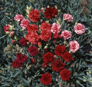 'Can Can Cocktail Party' Dianthus caryophyllus from Sakata
