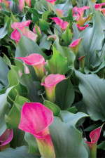 Potted Calla Lilies: Everything You Need To Know