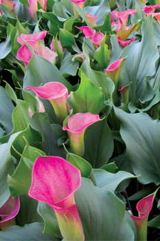 Potted Calla Lilies Everything You Need To Know Greenhouse Grower