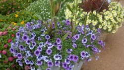 Armitage's Top 6 Petunias