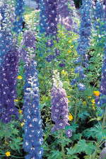 Delphinium Production Tips