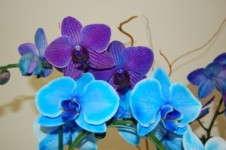 Indigo Mystique Orchid Joins Blue Mystique