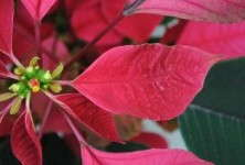 SePRO: Avoid Hachi-Hachi On Colored Poinsettias