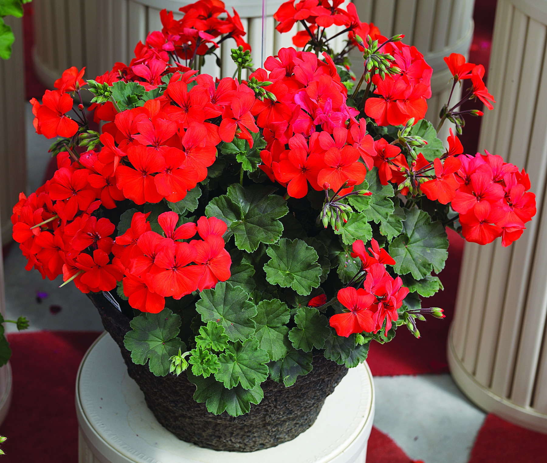 Picture of Live Ivy Geranium Caliente Red aka Pelargonium peltatum Plant Fit 1QRT Pot