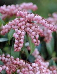 Pieris 'Katsura' Available From Plant Haven
