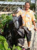 'Black Coral' Joins The Royal Hawaiian Colocasias