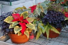 Peace Tree's Poinsettias: Differentiation The Selling Point