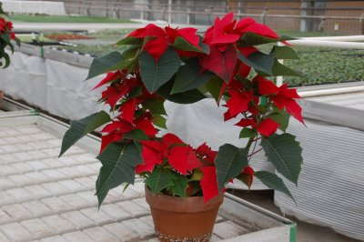 How To Differentiate In Poinsettias
