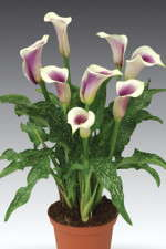 Three Calla Lily Cultivar Favorites