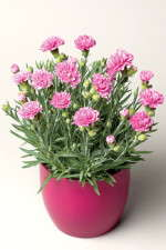 Dianthus Production Tips