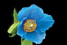 Big On Blue (Poppy)