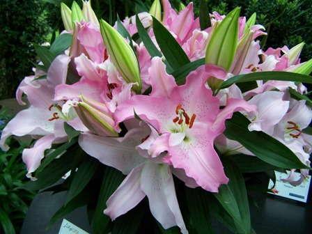 Lilytopia Reblooms