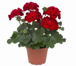 Salsarita Geranium Wins Bedding Plant Award