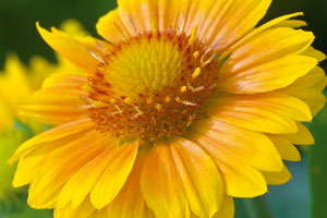 National Garden Bureau Designates 2015 As Year Of The Gaillardia