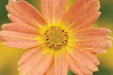 Coreopsis verticillata 'Sweet Marmalade'