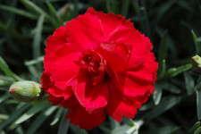 Dianthus Radiance Rebekah