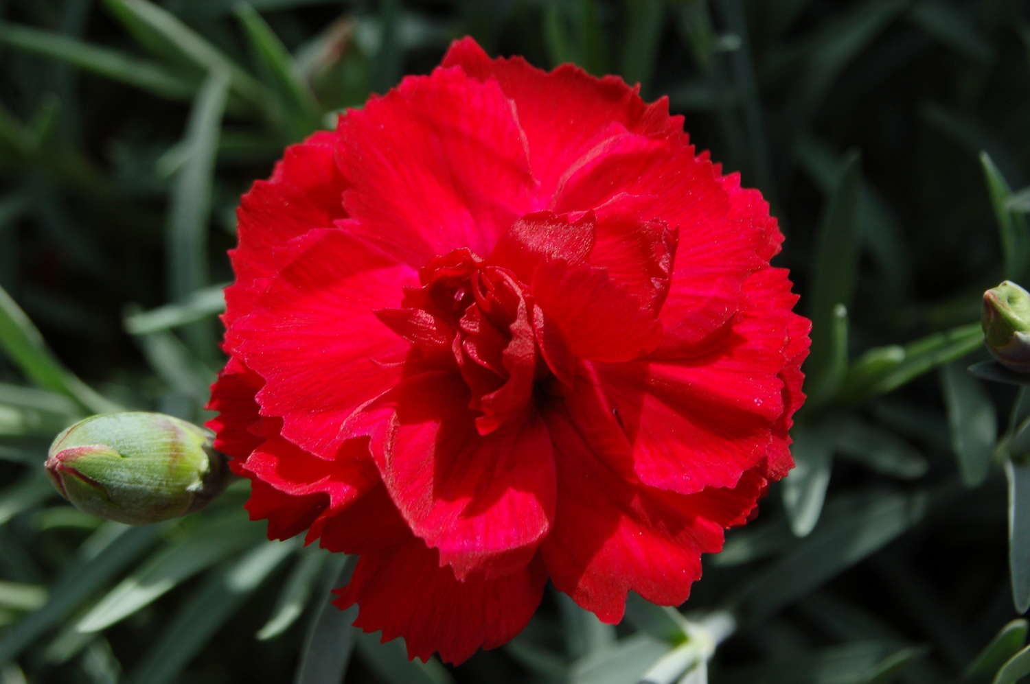 Dianthus 'Early Bird Radiance' From PlantHaven