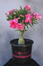 Hines Growers' Bloomtastic! plant