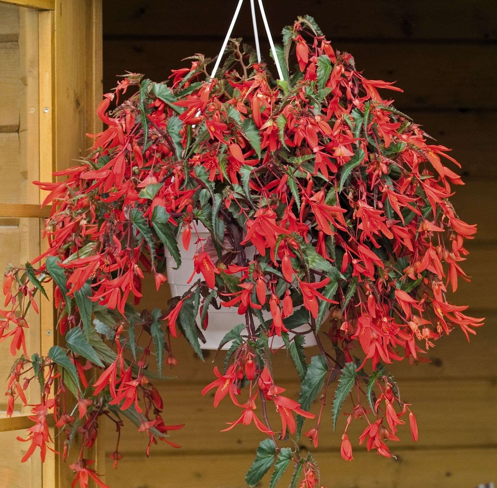 Begonia boliviensis 'Santa Cruz Sunset' Is A Medal Of Excellence Nominee