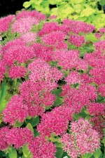 "Sedum ""Hot Stuff'"