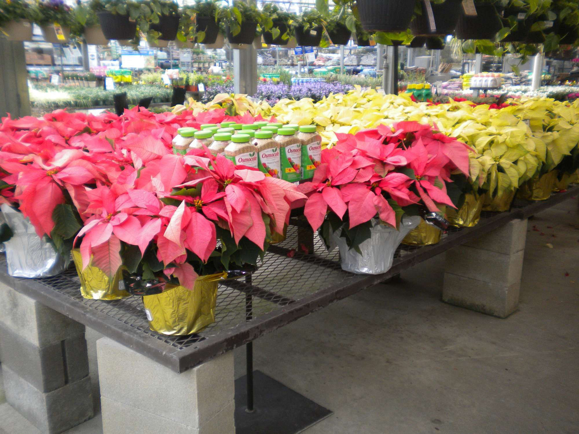 Why Growers Avoid Poinsettias