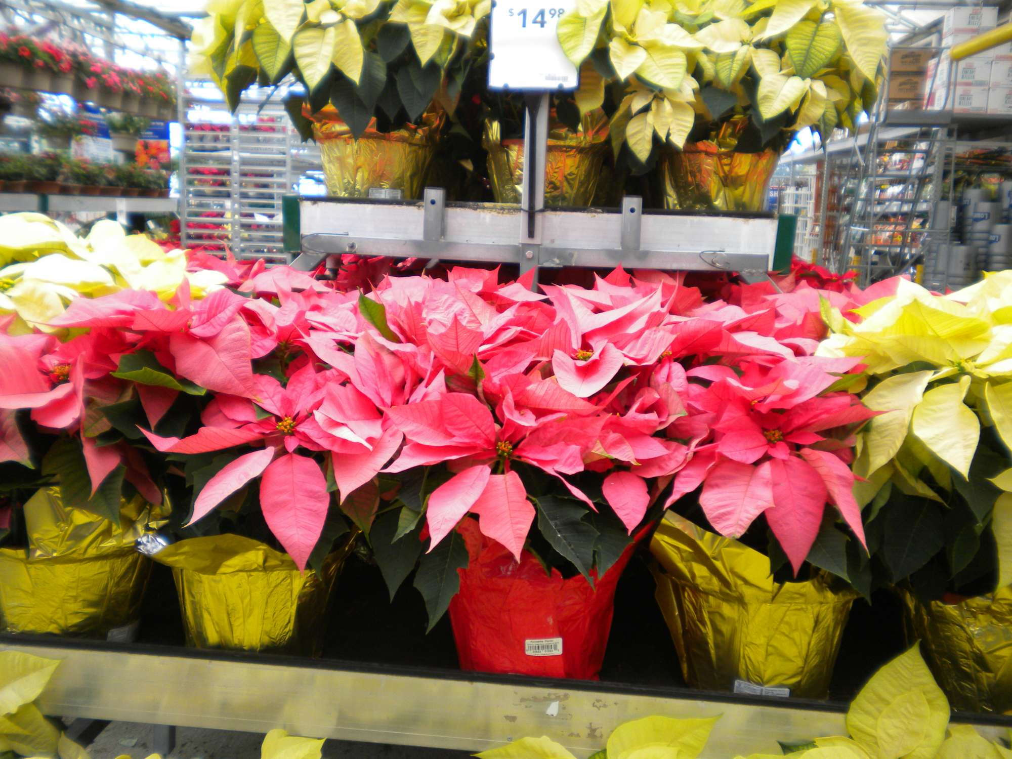 How Growers Fared With Poinsettias