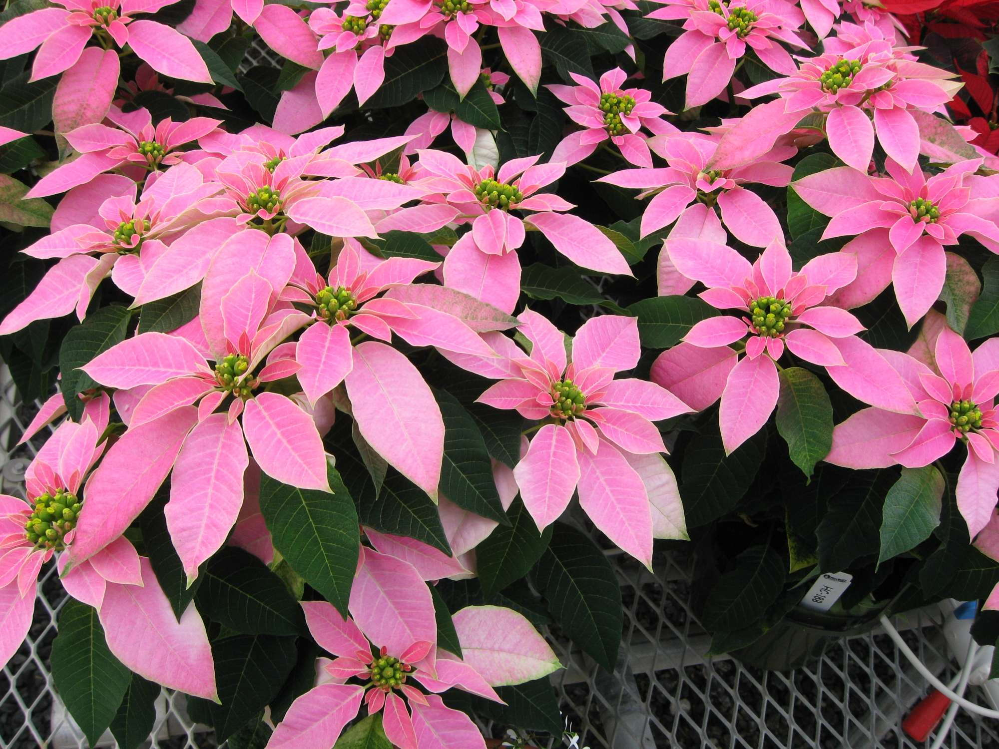 Luv U Pink Poinsettia The Hit At Mitchells Open House Greenhouse