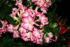 Adenium 'Blooming Fool'