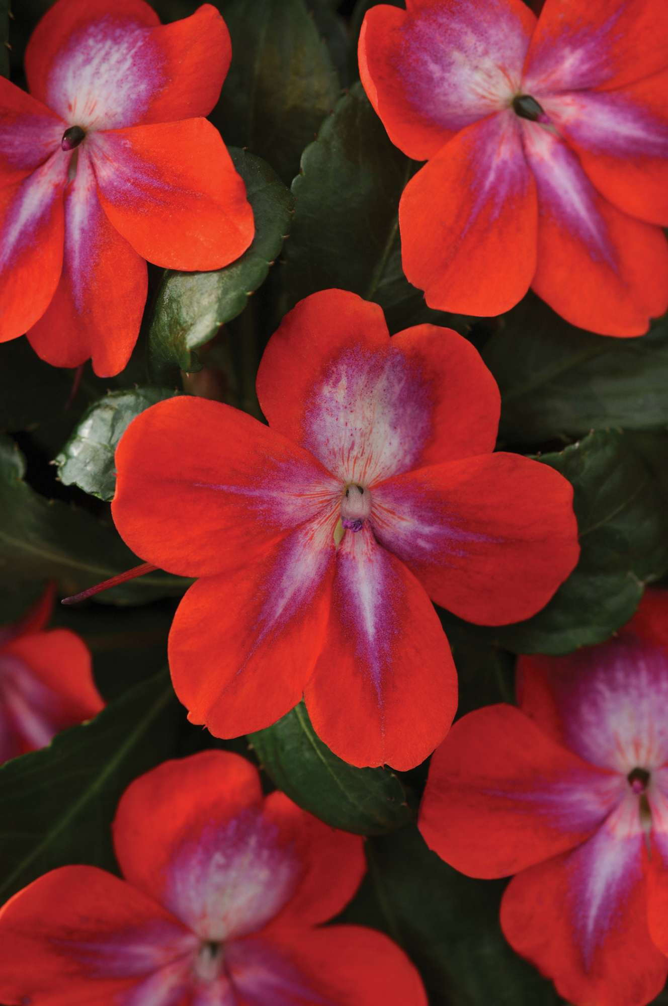 Opinion: Impatiens  Put To The Test