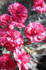 Dianthus 'Cosmic Red Swirl'