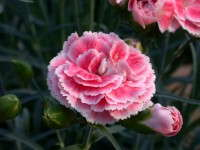 'Coral Reef' Dianthus