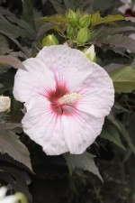 'Kopper King' hibiscus's flower