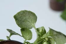 Closeup shot of downy mildew on an impatiens leaf. Downy mildew has been decimating landscapes full of impatiens in South Florida this year. Photo courtesy of Aaron J. Palmateer, assistant professor and extension specialist at the University of Florida. Photo courtesy of Aaron J. Palmateer, assistant professor and extension specialist at the University of Florida.