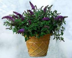 'Bloomtastic! Purple Splendor' buddleia from Hines