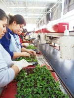 Like most growers, Van de Wetering Greenhouses would have workers – all of them females – focusing on sticking one tray at a time.