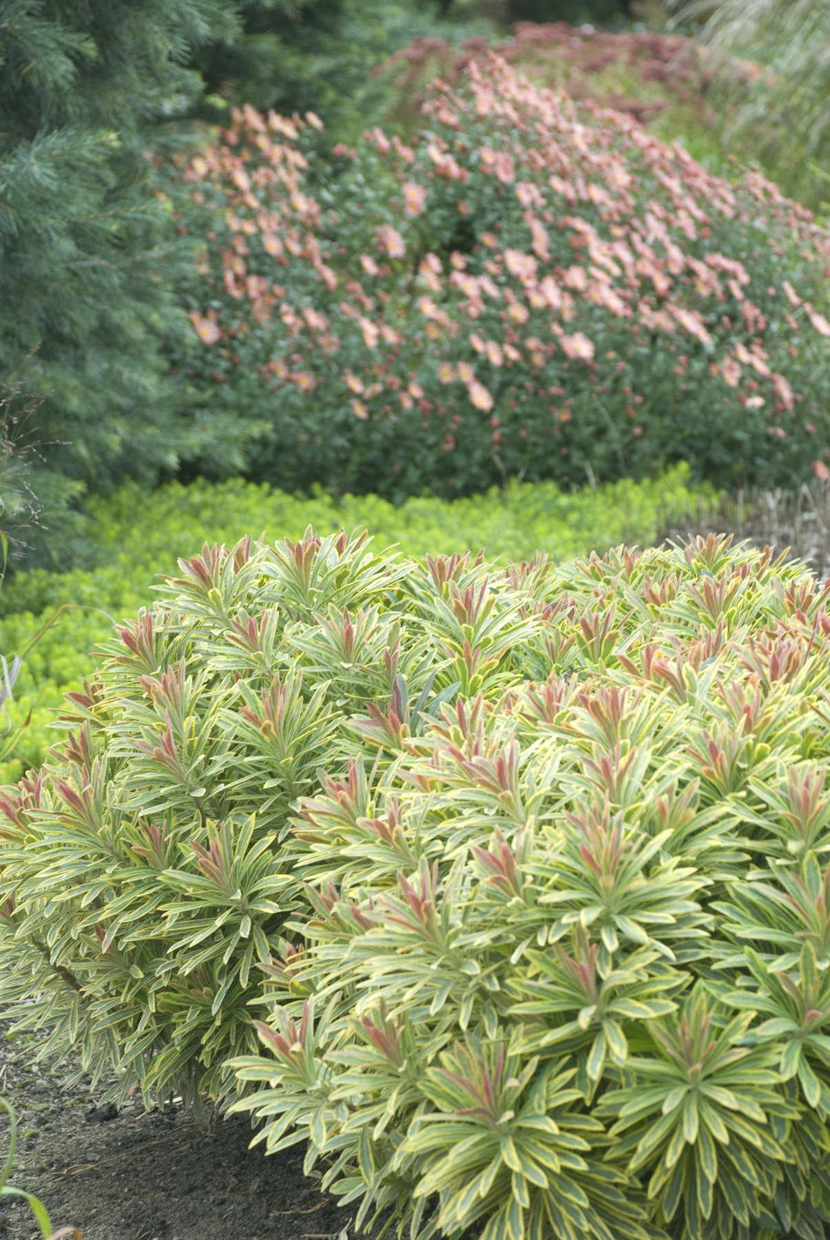 Euphorbia Polychroma vs. Euphorbia 'Ascot Rainbow'