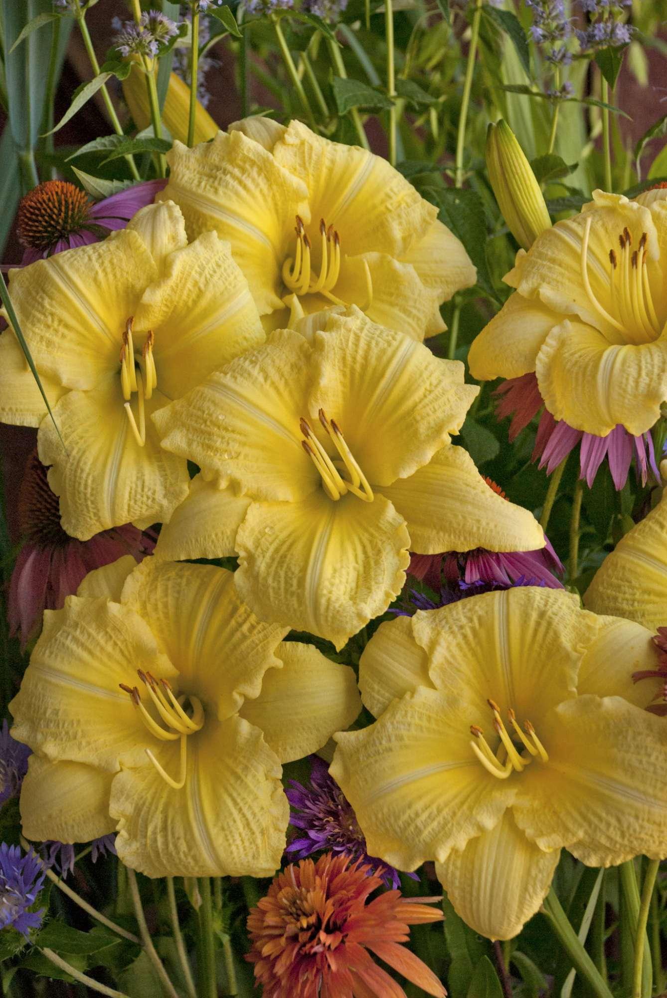 Better Bloomers:  Hemerocallis 'Happy Returns' vs. 'Going Bananas'