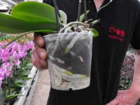 Westerlay Orchids' Toine Overgaag says his 5-inch phalaenopsis orchids perform better in a bark-based media.