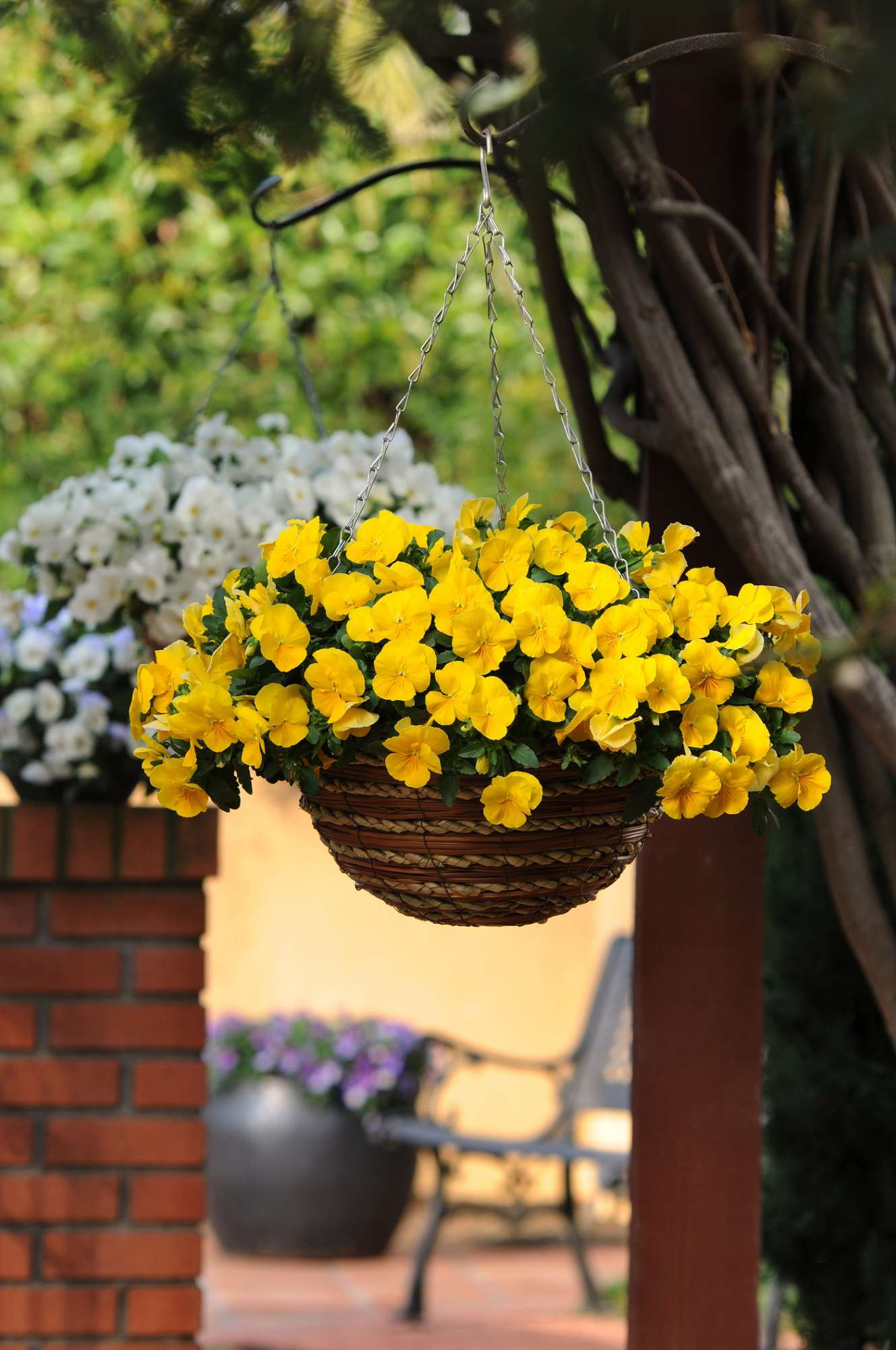 3 Steps To Create Premium Pansy Baskets