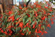 Benary's 'Santa Cruz Sunset' begonia