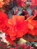 'Arcada Orange' begonia